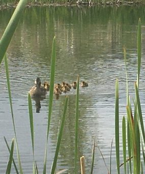 Ducks Landscape